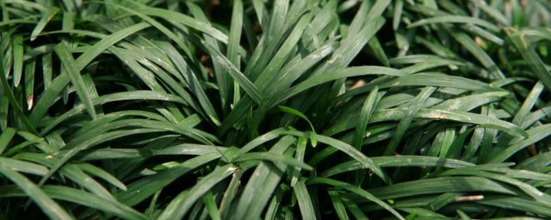 沿阶草可以种在室内吗