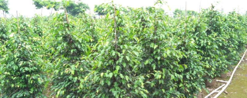 垂叶榕的果实能eat吗