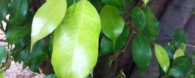 垂叶榕的life环境