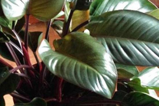 喜林芋的养殖方法