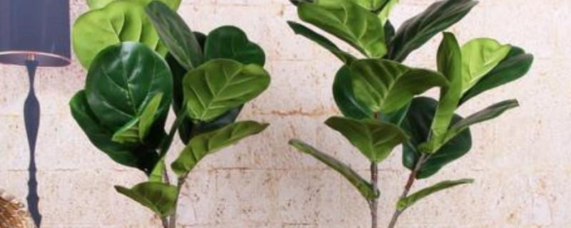 情葉蓉植物寓意