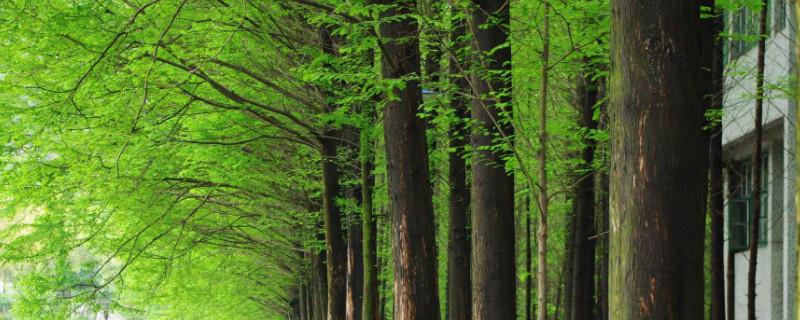 日本国树是什么
