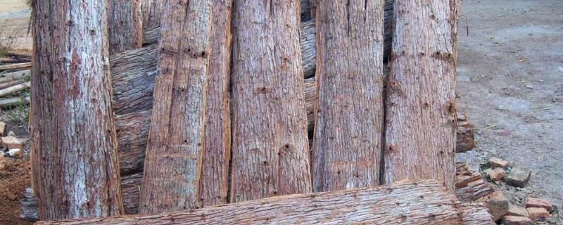 杉树皮的功效与作用