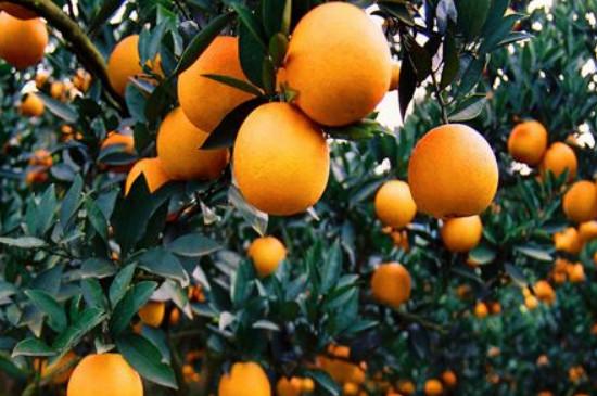 柑橘黄化的原因及解决方法