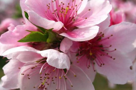 桃花特点及其象征意义