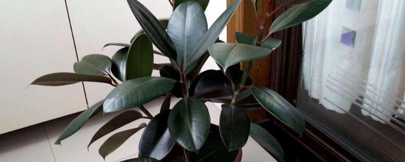 橡皮树叶子上有白点