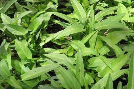 水上竹叶菜
