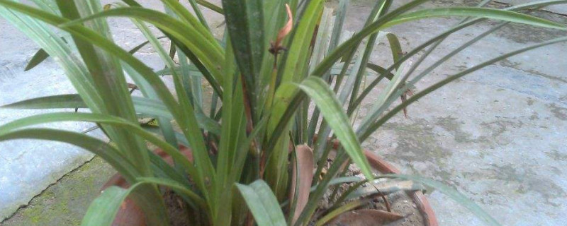 漳州蘭草為什么難養
