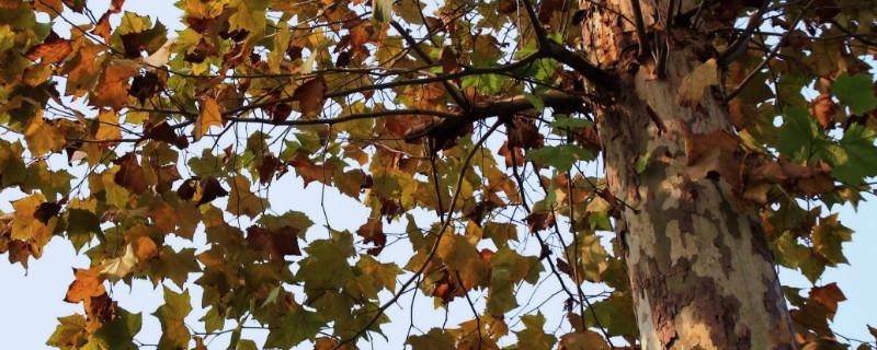 法國梧桐樹木材什么色