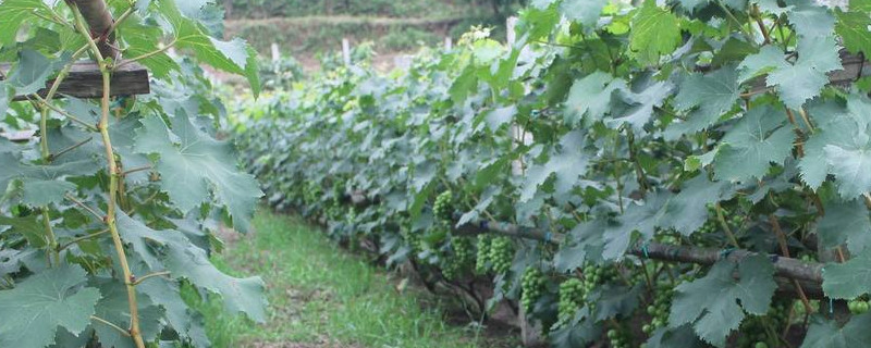 葡萄籽长出来葡萄树结果吗