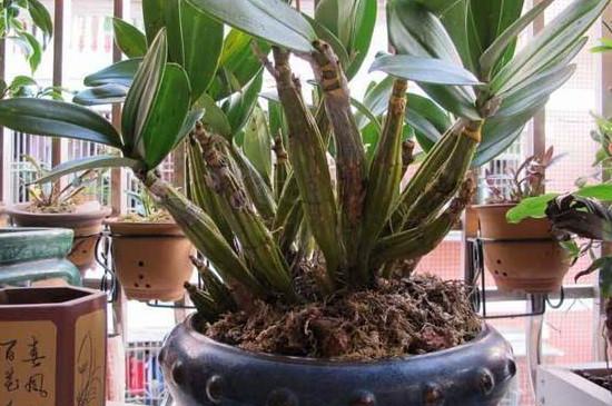 盆栽石斛的养殖方法和注意事项