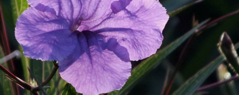 蓝花草有毒吗