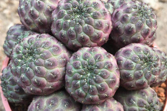 紫丽丸养殖技巧