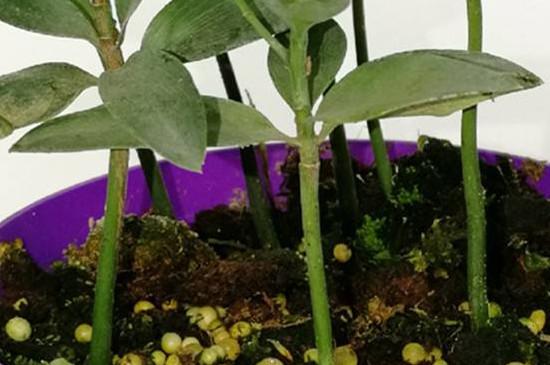金钻绿公主植物养殖方法