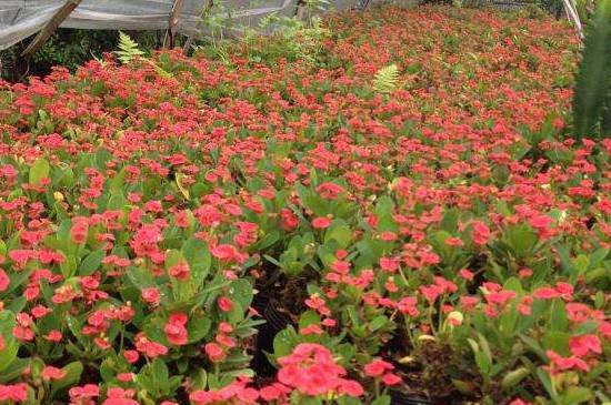 铁海棠盆栽的养殖方法和注意事项