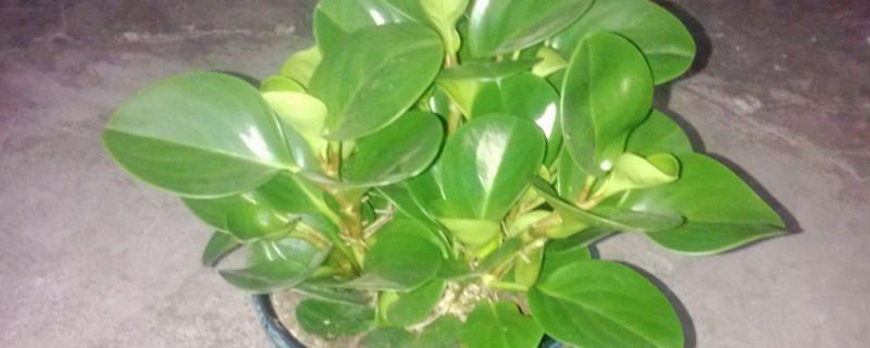 豆瓣绿叶片有斑点