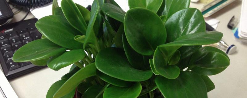 豆瓣绿如何叶片肥厚
