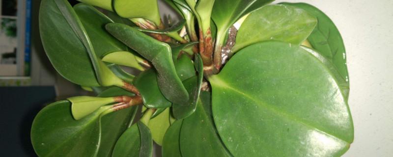 豆瓣绿叶片扦插方法