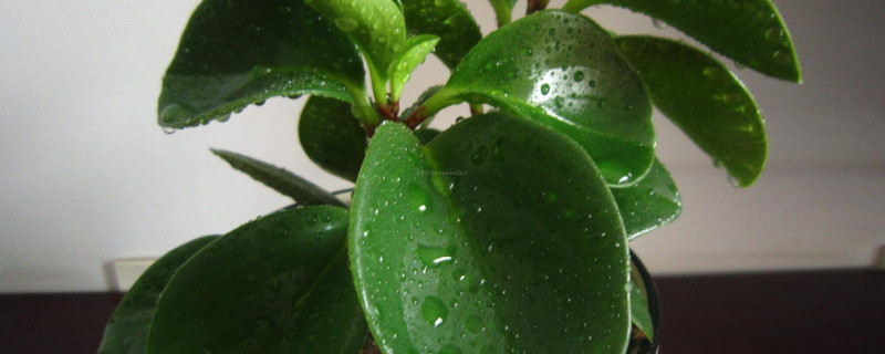 豆瓣绿叶片可以水培吗