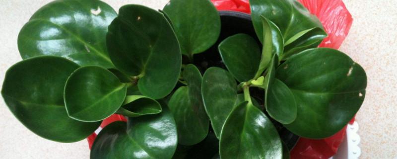 豆瓣绿叶片长黑斑