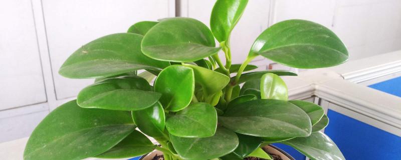豆瓣绿叶片下垂