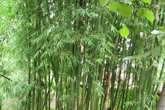 龙竹怎么修剪