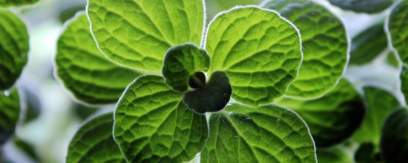 一抹香是什么植物