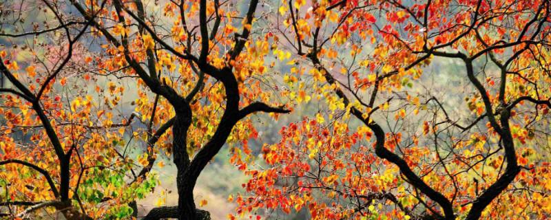 乌桕树的功效与作用