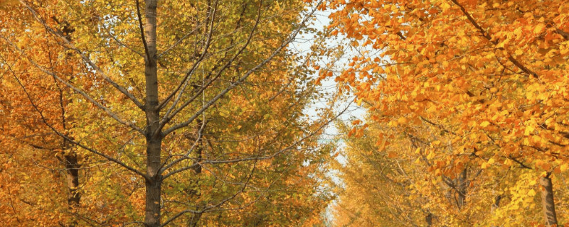 公孙树是什么植物的名称