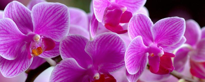 兰杜是什么花