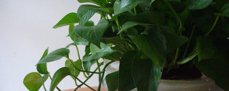 家里能养绿萝花吗