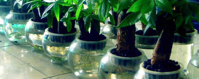 发财树能水培养吗