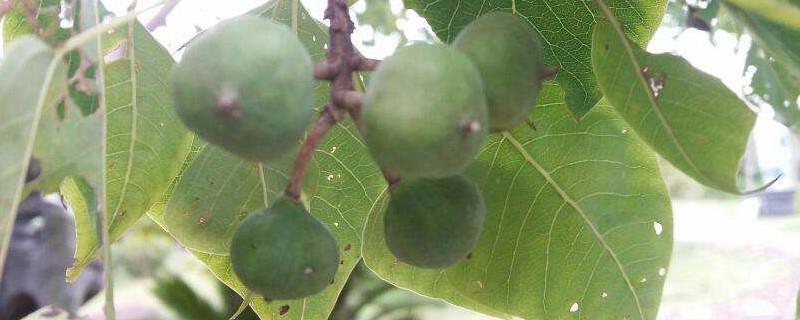 木子树果实的药用价值