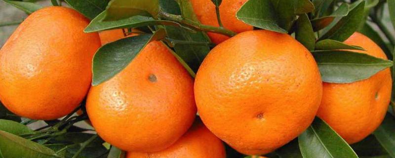 柑橘花芽分化什么时间