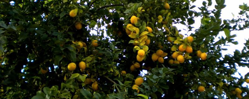 柠檬叶子从下往上变黄