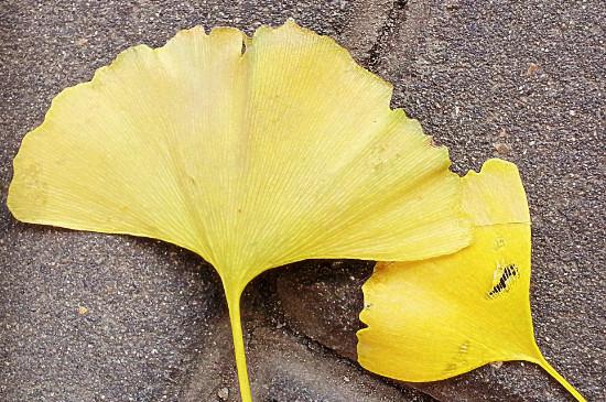 沈阳的银杏叶什么时候黄