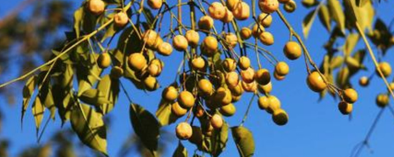 楝树果实功效与作用