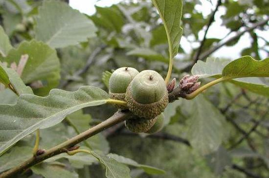 槲树果实能吃吗