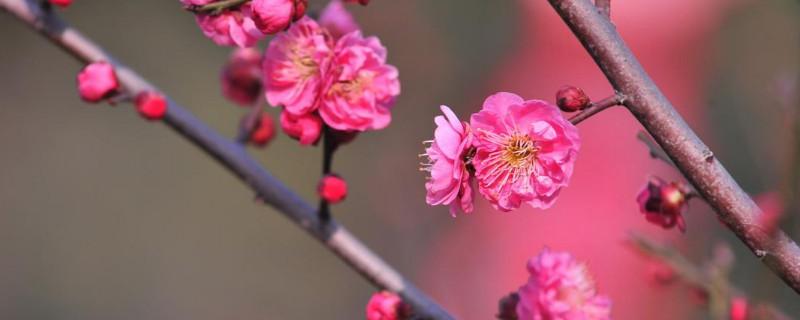 移栽梅花多久能生根