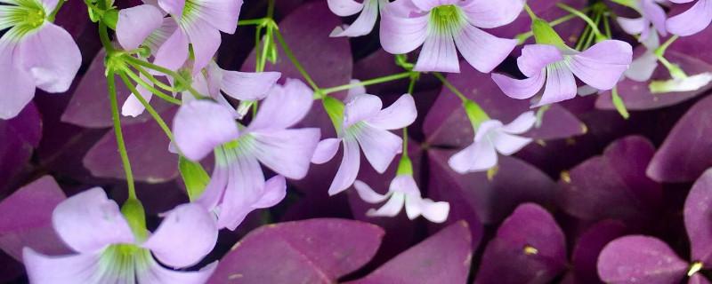 紫色的草叫什么
