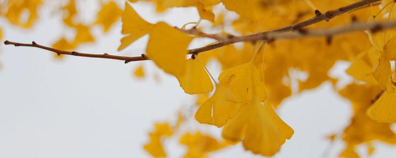 韶关南雄银杏树几月有黄叶看