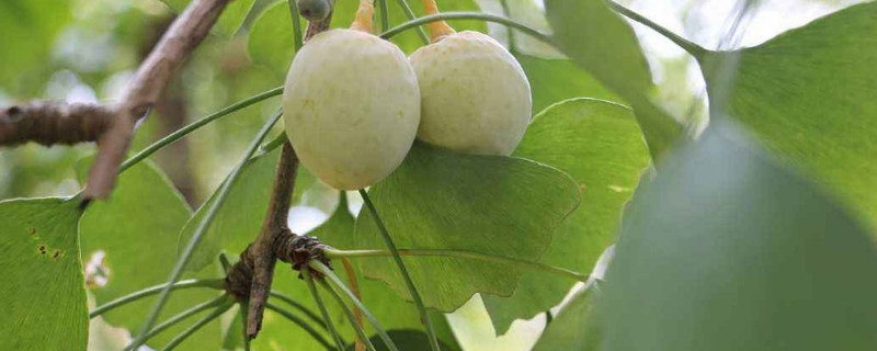 银杏的果子能吃吗
