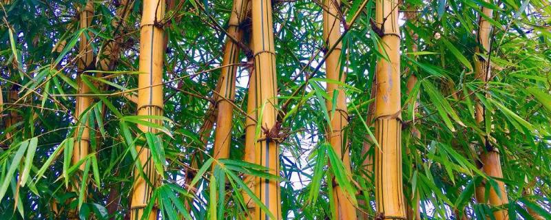 龙头竹的功效与作用