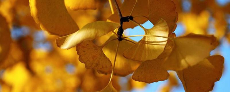 银杏叶最佳观赏时间