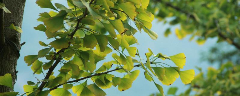 银杏叶的变化过程