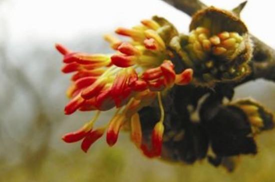 银缕梅属于什么植物