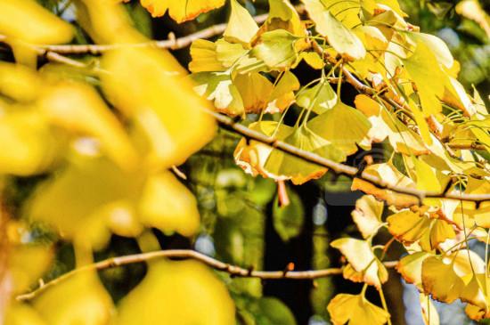 银杏叶落叶几月份
