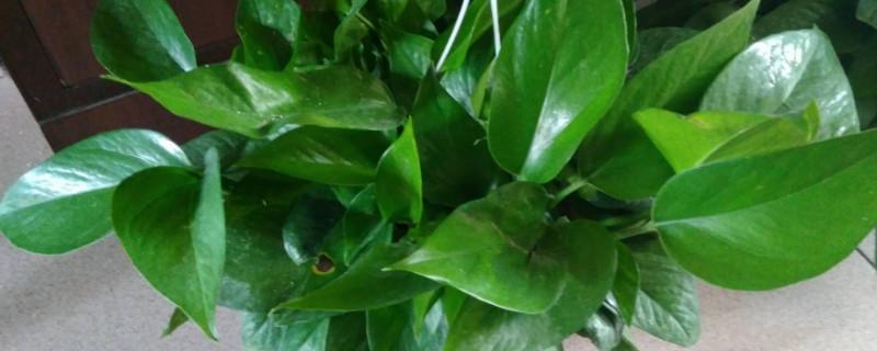 绿萝长藤跟短藤的区别
