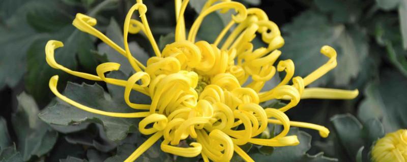菊花开花的过程
