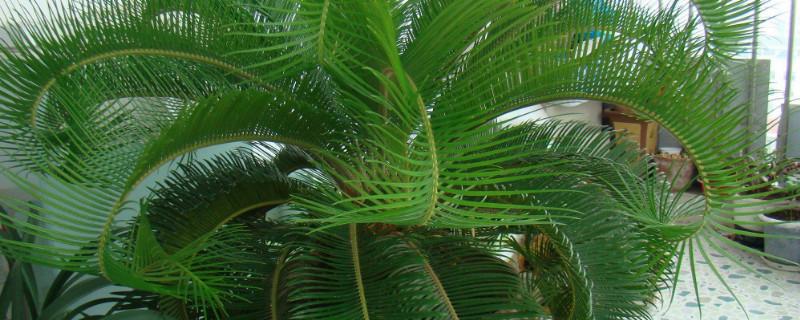 巴西铁树叶子发黄枯萎